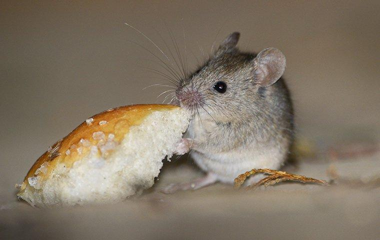 a house mouse eating in an austin kitchen