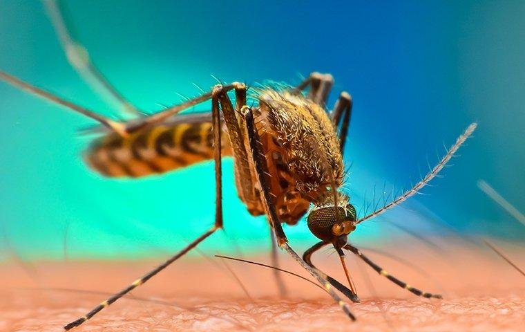 a mosquito biting human arm skin