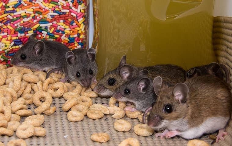 several mice eating pantry food