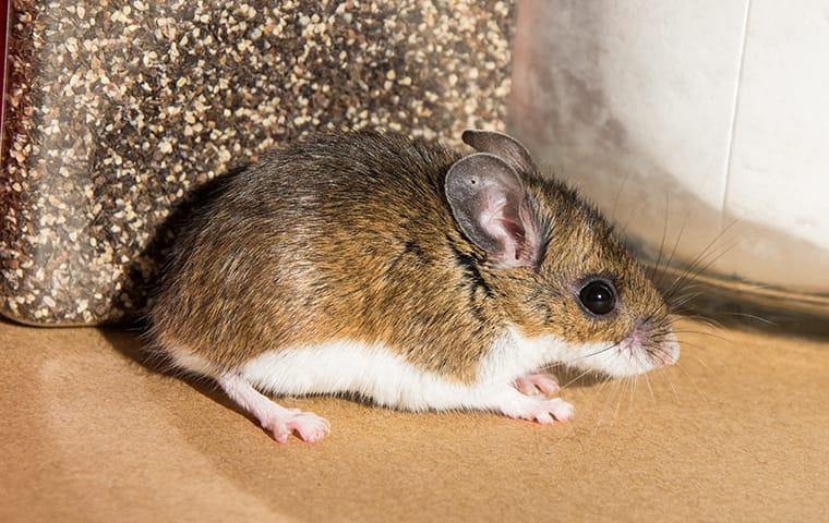 a rodent infestation inside of an austin texas home