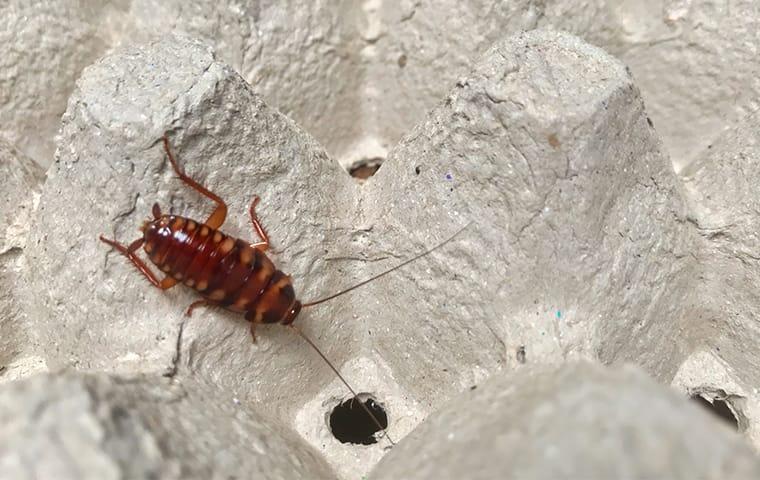 a cockroach crawling in an egg carton in a home in cedar park texas
