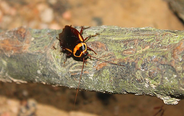 a cockroach crawling on a branch outside of a home in pflugerville texas