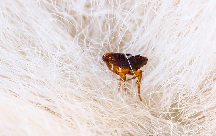 a flea crawling on a dog in leander texas