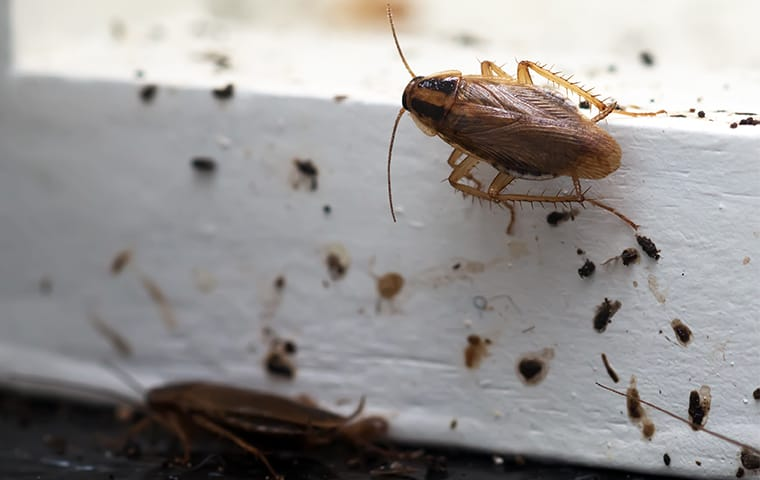 a german cockroach crawling through its own feces in a home in georgetown texas
