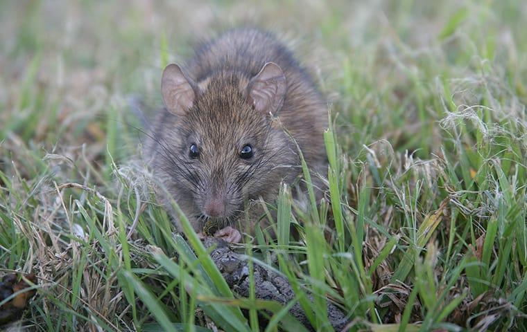 a large rat in the grass outside of a home in garfield texas