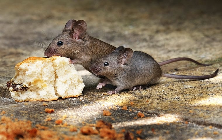 two mice eating a biscuit left on the ground outside a home in austin texas