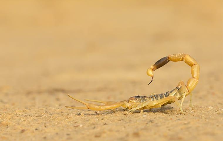a scorpion on the ground outside of a home in sunset valley texas