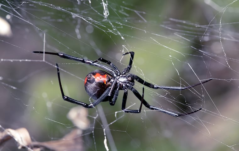 a black widow spider in its web outside of a home in austin texas