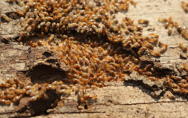 hundreds of termites crawling on damaged wood at a home in cedar park texas