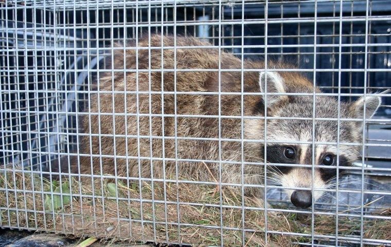 a raccoon in a trap outside of a home in buda texas