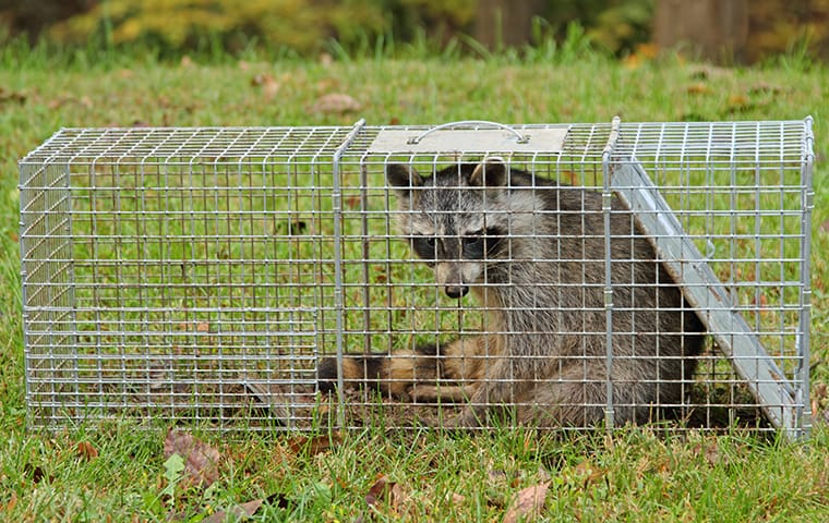 a raccoon sitting in a trap outside of a home in cedar park texas