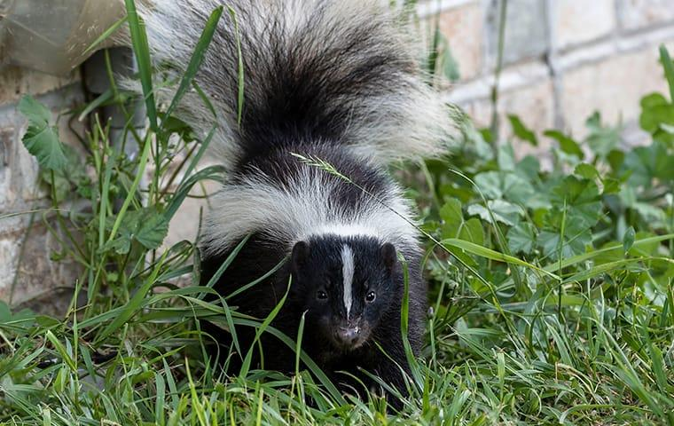 a skunk outside of a home in austin texas