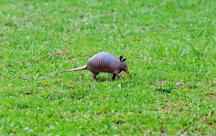 an armadillo on a lawn in front of a home in austin texas