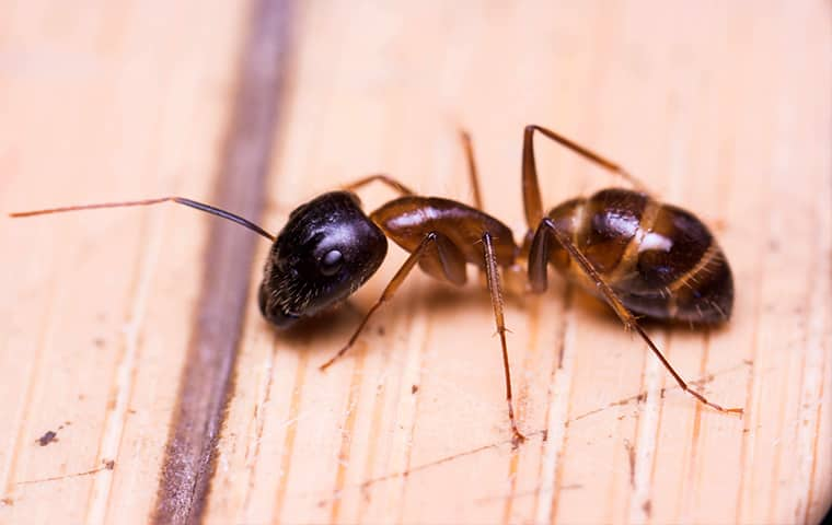 an ant crawling on the floor of a home in hattiesburg mississippi