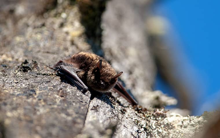 a little brown bat perched on a rock in hattiesburg mississippi