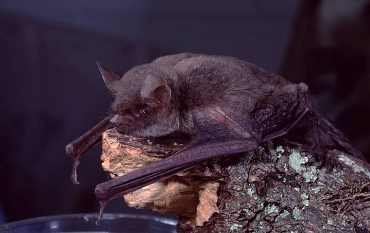 a little brown bat on a rock outside in hattiesburg mississippi