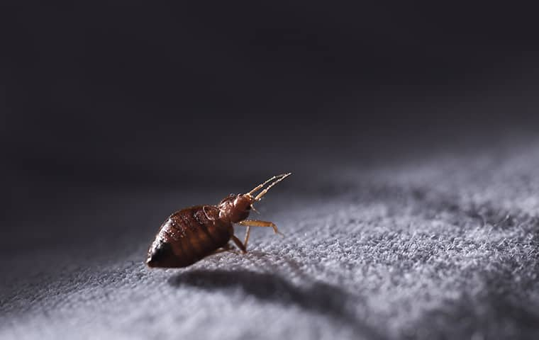 a bed bug crawling on fabric in hattiesburg mississippi