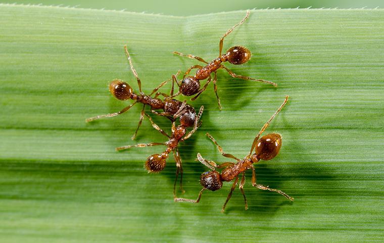 fire ants crawling on a green leaf