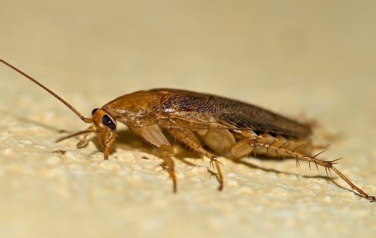 a german cockroach infesttaion in a hattiesburg mississippi home