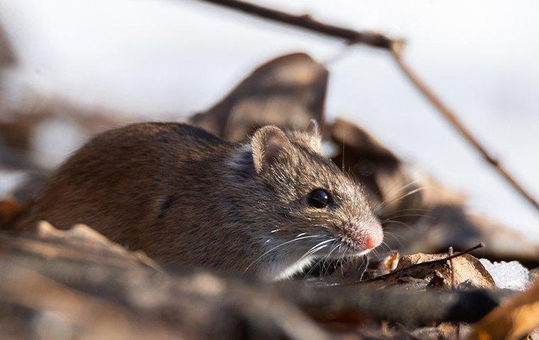 a mouse outside in a pile of leaves