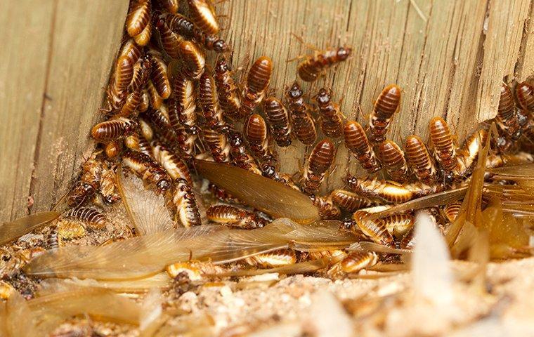 termite swarmers infesting wood