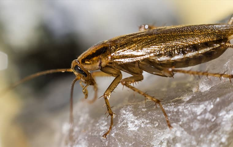 a german cockroach on a rock in hattiesburg mississippi