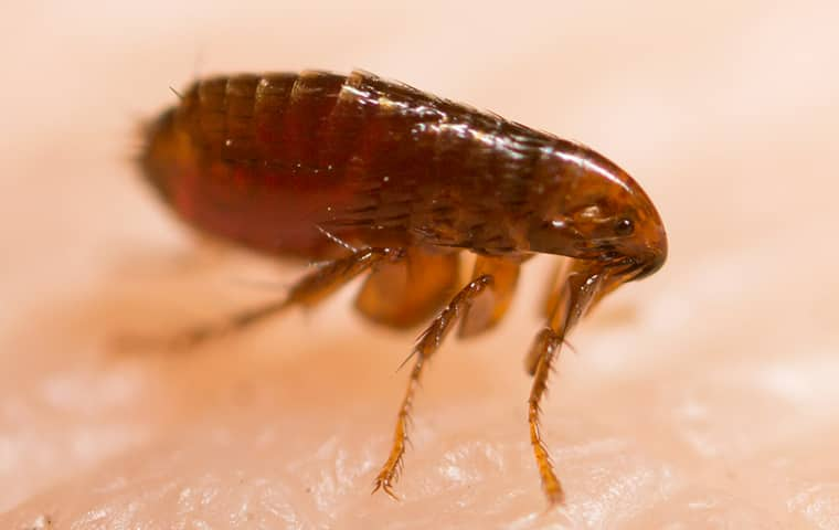 a flea crawling on human skin in hattiesburg mississippi