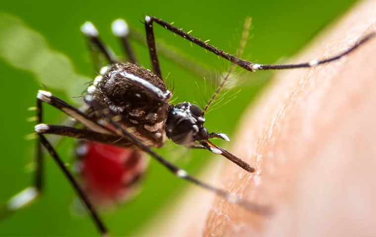 a mosquito drinking human blood in hattiesburg mississippi