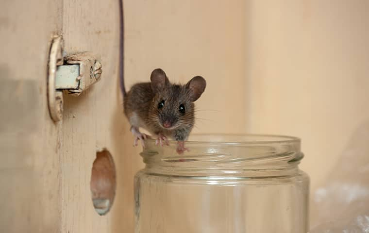 a mouse on a jar in hattiesburg mississippi