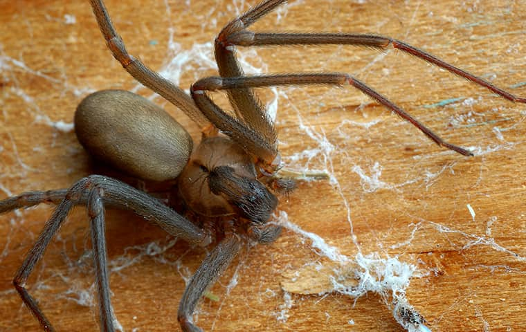 a brown recluse spider crawling on the floor of a home in hattiesburg mississippi