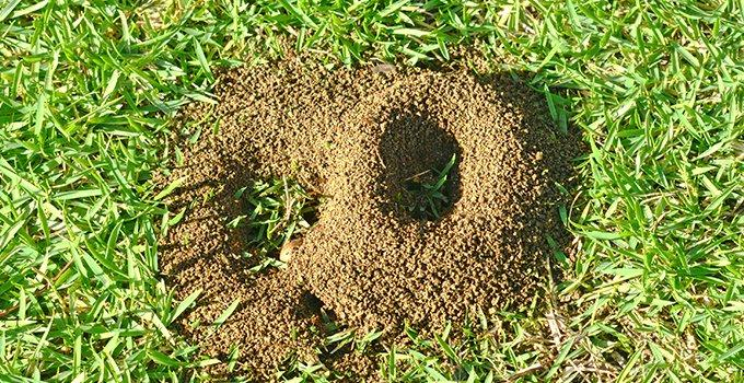 ant hill on a lawn
