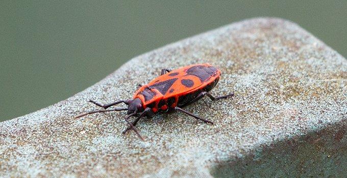 a boxelder bug crawling on masonry
