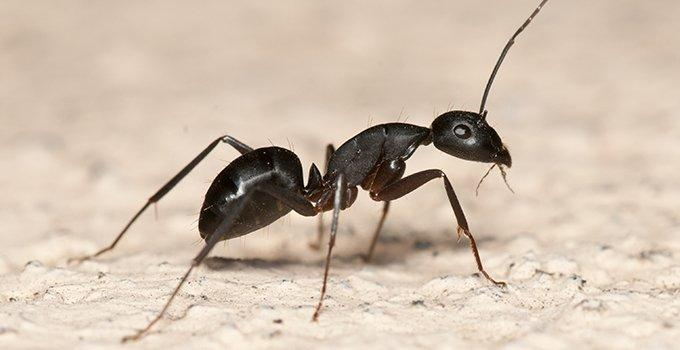 carpenter ant on white surface