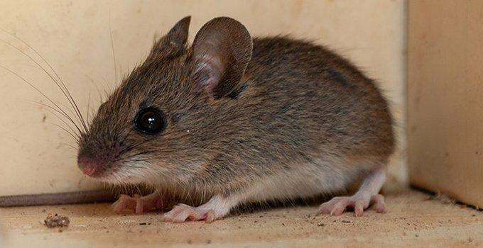a house mouse hiding in a cupboard