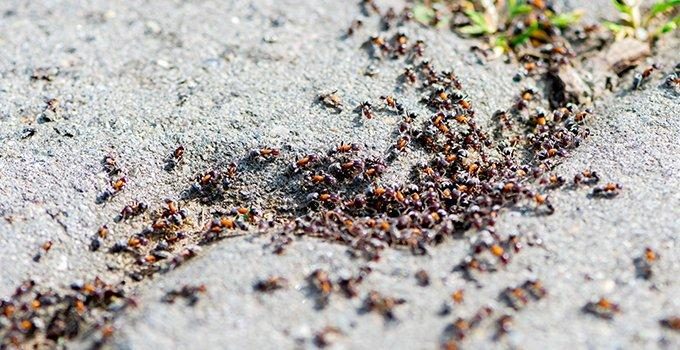pavement ants in driveway