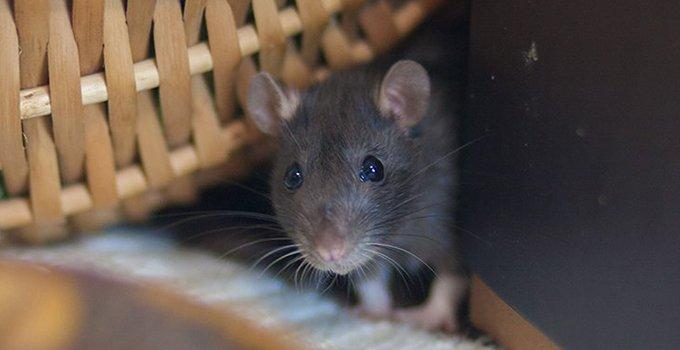 single rat hiding in a home