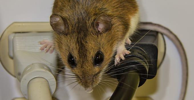a house mouse crawling on top of the plugged in electrical cords in a christiansburg home