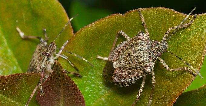 stink bugs on leaves