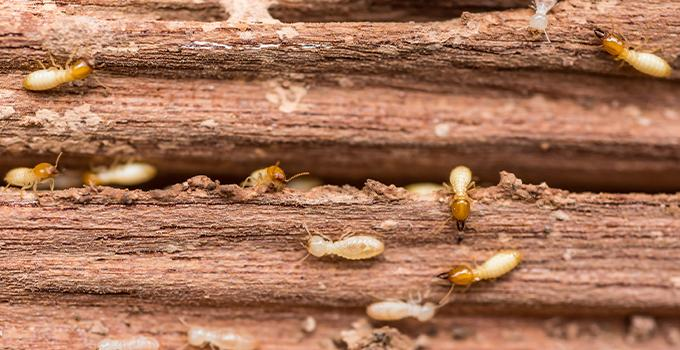 a swarm of termites chewing on a wooden structure in christiansburg virginia