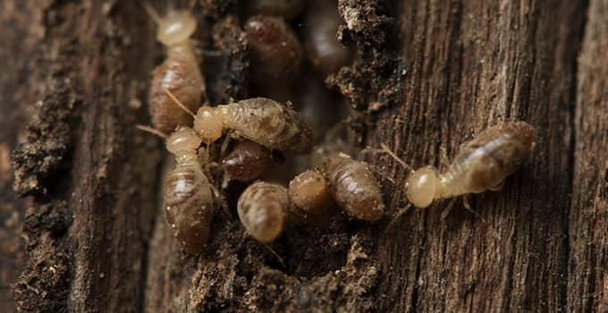 many termites damaging wood at a virginia property