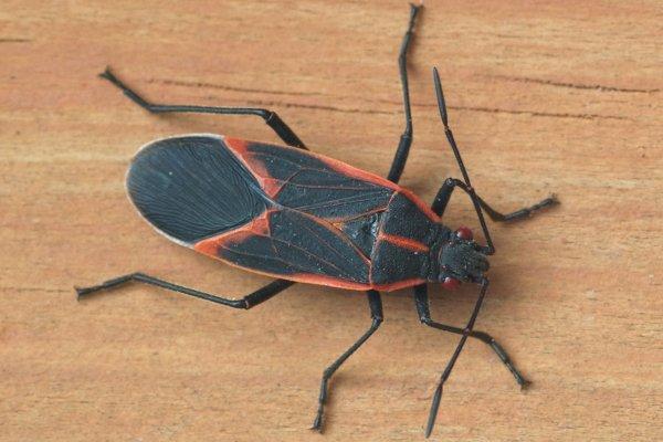 boxelder bug in wood