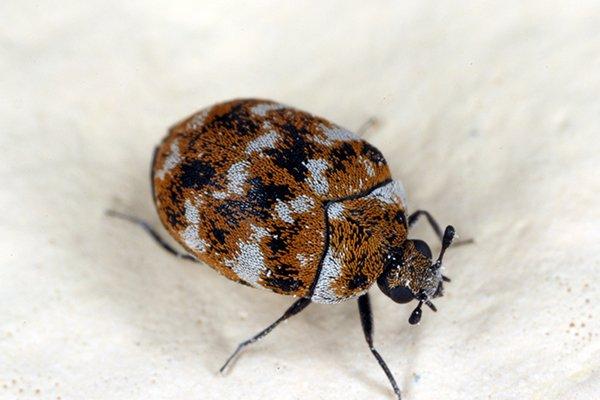 carpet beetle on drywall