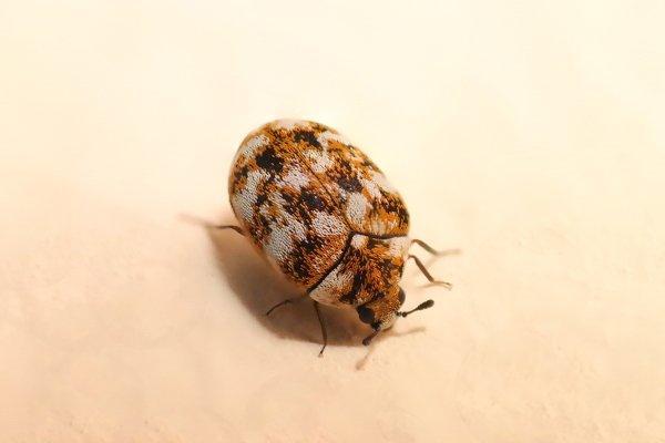 carpet beetle on skin
