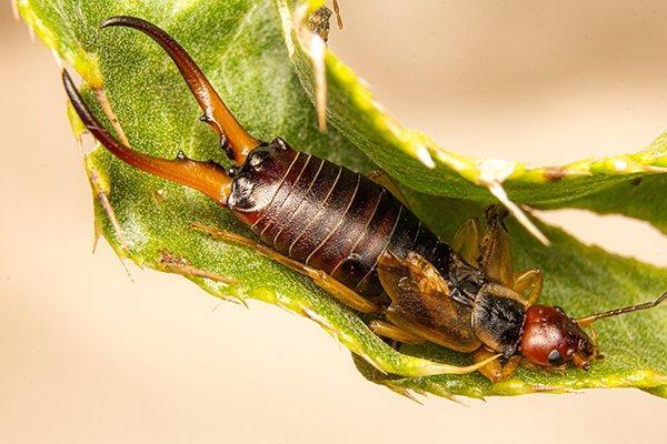 earwig up close on leaf