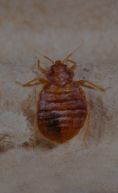 a bed bug on linen inside a virginia home
