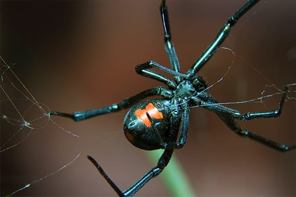 black widow spinning a web