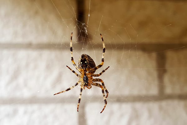 common house spider hanging from a web