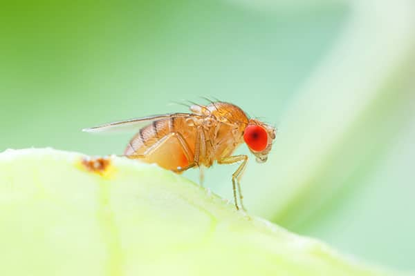 fruit fly up close
