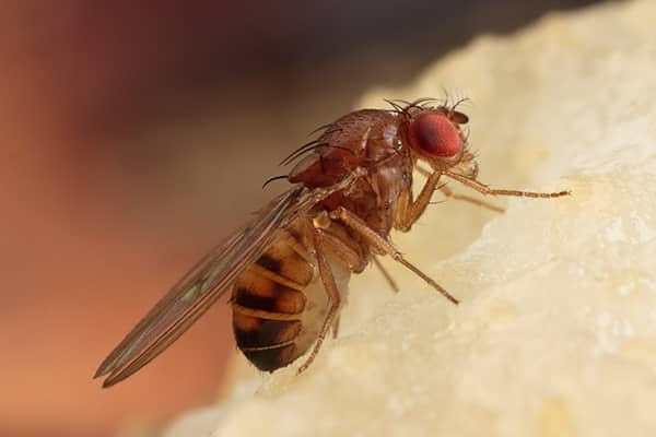 fruit fly infested fruit