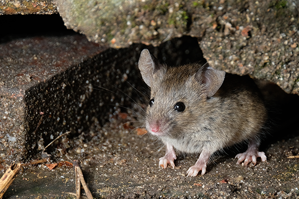 house mouse virginia